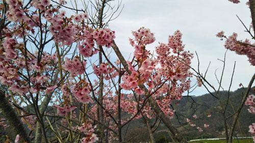DSC_0013桜.jpg